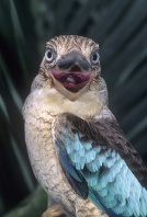 Blue Winged Kukaburra, New Guinea