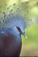 Victorian Crowned Piegon, New Guinea