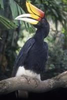 Rhinocerous Hornbill, Forests of Java
