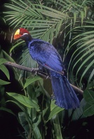 Violet Turaco, Africa
