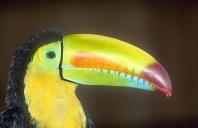 Keel Billed Toucan, Costa Rica