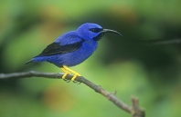 Male Purple Honeycreeper, Trinidad