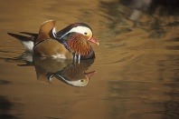 Mandarin Duck, East Asia