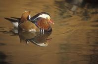Mandarin Duck, East Asia