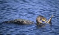 Comorant Spearing Fish With Beak, Florida Everglades