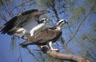 Pair of Osprey in a Tree, Florida