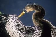 Anhinga Preening Feathers, Florida Everglades