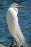 Great American Egret, Florida