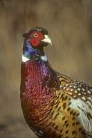 Ringed Necked Pheasant, Indiana