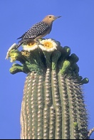 Gila Woodpecker on a Saguaro Cactus, Arizona