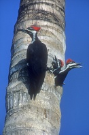 Pileated Woodpeker and Two Babies Peeking Out of Nest Hole, Florida