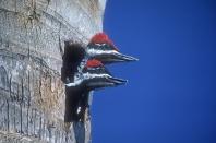Pileated Woodpecker Babies Peeking From Nest Hole