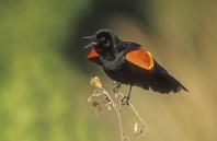 Red Winged Blackbird Singing, Florida