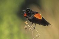 Red Winged Blackbird Singing, Florida