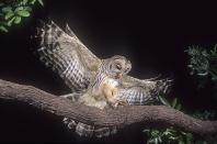Barred Owl in Flight, Florida