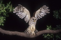 Barred Owl in Flight, Florida