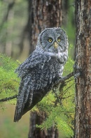 Great Grey Owl, Canada