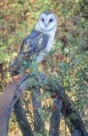 Barn Owl, Canada
