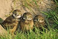 Three Baby Burrowing Owls, Florida