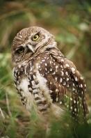 Burrowing Owl, Florida