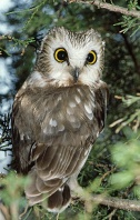 Saw Whet Owl, Indiana