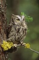Western Screech Owl, Canada