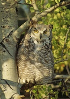Great Horned Owl, Canada