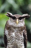 Malay Eagle Owl, Maylasia