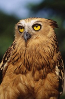 Malay Fish Owl, Maylasia