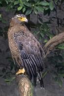 Crested Serpent Eagle, Malaysia