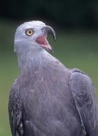 Grey-Headed Fishing Eagle, India