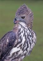 Changeable-Hawk Eagle, Asia
