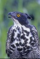 Blyth's Hawk Eagle, Asia