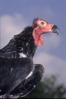 Indian King Vulture