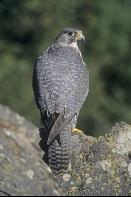 Gryfalcon Falco, Canada