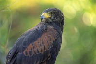 Harris Hawk, Arizona
