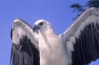 White-Bellied Sea Eagle, Singapore