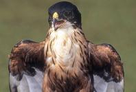 Chestnut Bellied Hawk Eagle, India