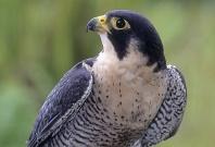 Peregrin Falcon, Asia