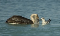 Pelican and Seagull, Gulf of Mexico, Florida