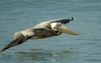 Pelican in Flight Over The Gulf of Mexico, Florida