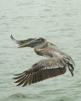 Brown Pelican in Flight, Florida