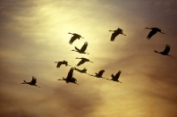 Sandhill Cranes in Flight at Sunset