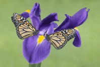 Monarch Butterflies on a Iris