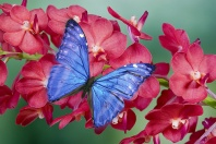 Morpho Butterfly on Orchids