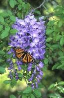 Monarch Butterfly on Westeria