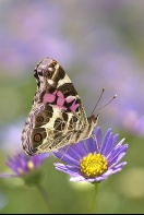 American Painted Lady Butterfly on a Lavendar Flower