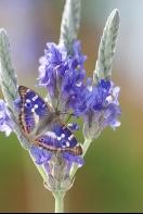 Apatura ilia Butterfly