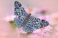 Hamadryas amphinome Butterfly, Ecuador, S. Am.