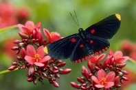 Tropical Butterfly, Belize